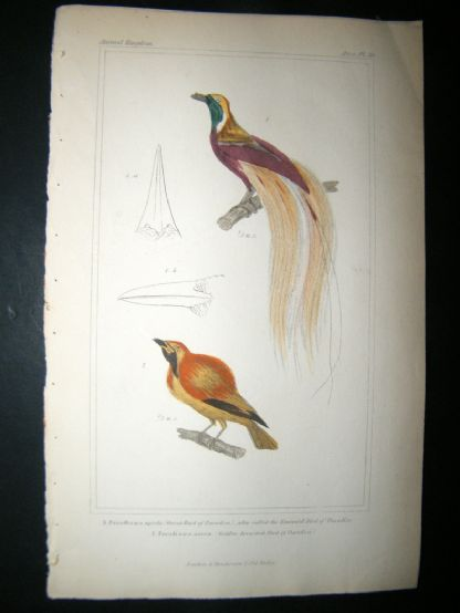 Cuvier C1835 Antique Hand Col Bird Print. Great Bird Of Paradise, Golden Breasted Bird Of Paradise, 30 | Albion Prints